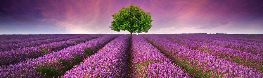 Lavender-aromatherapy-tree-field-header